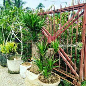 Jual Pohon Pandan Bali