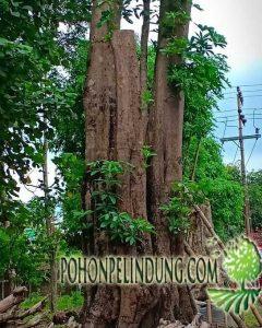harga pohon pule 2019