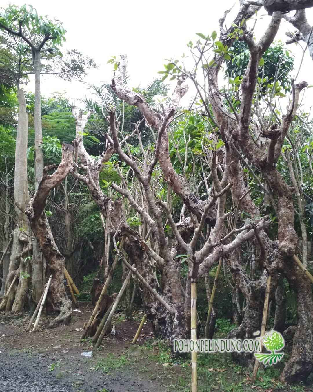 pusat pohon kamboja fosil