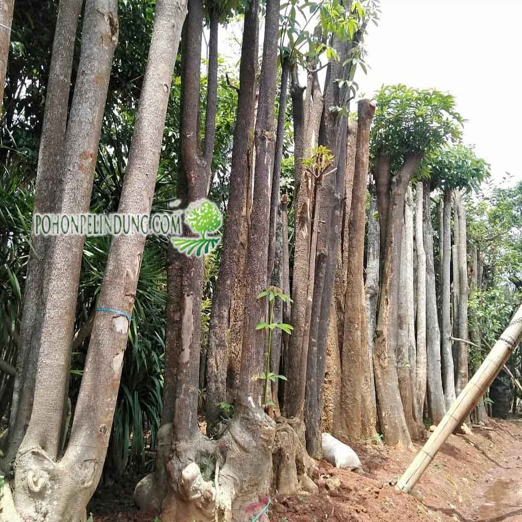 pusat pohon pelindung