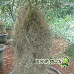 Harga pohon palem jenggot
