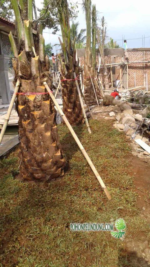 harga pohon Kelapa Sawit