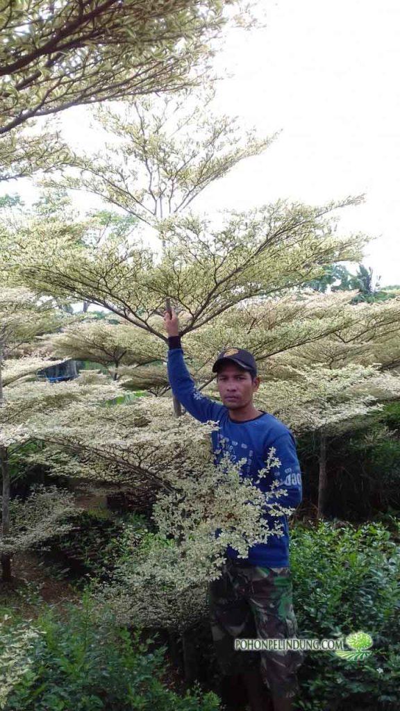 jual pohon ketapang kencana varigata