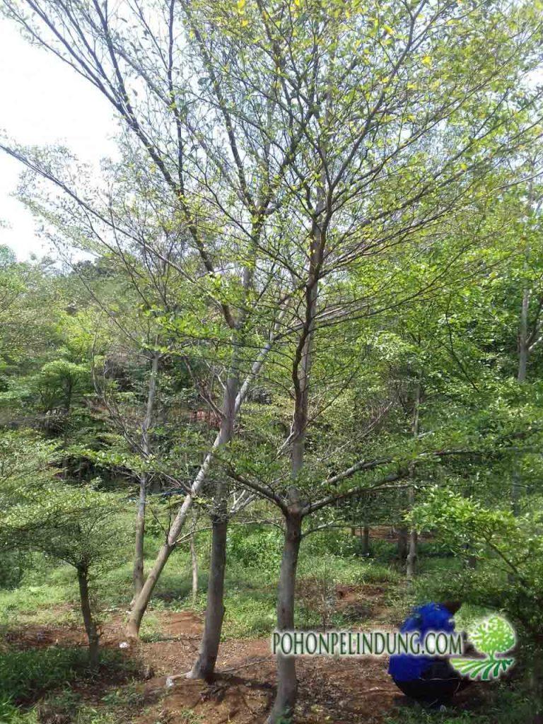 petani pohon ketapang