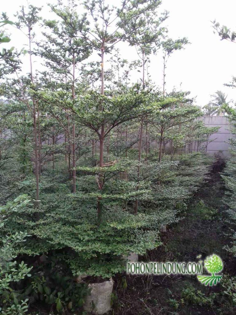 pusat pohon ketapang