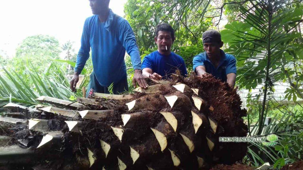 tukang pohon Kelapa Sawit