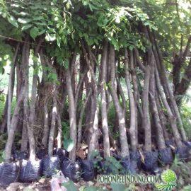 harga pohon angsana