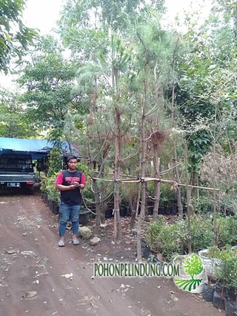 Harga Pohon Cemara Pinus Terbaru