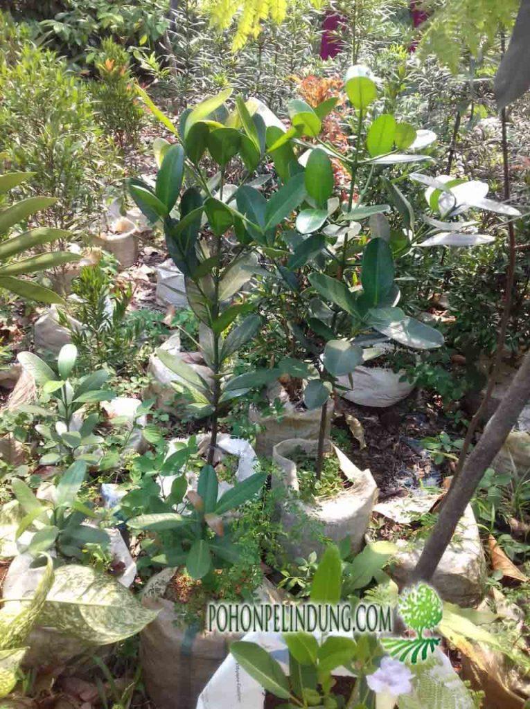 harga pohon garsenia