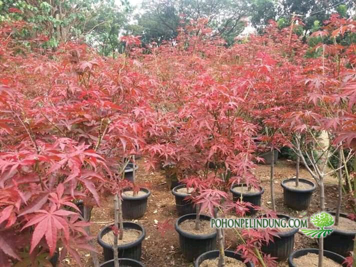 Jual Pohon Red Maple
