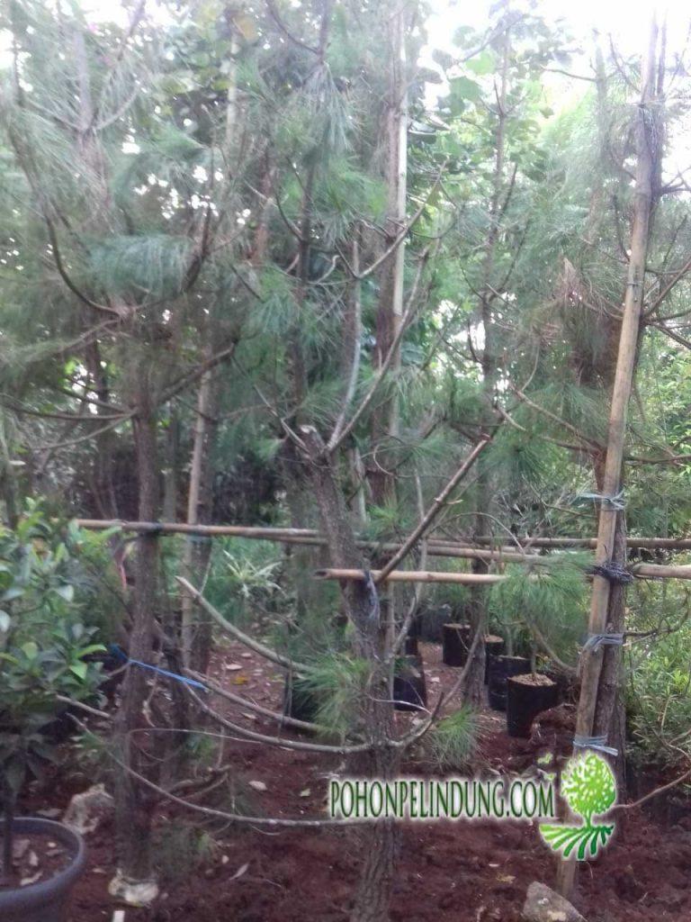 jual pohon cemara pinus