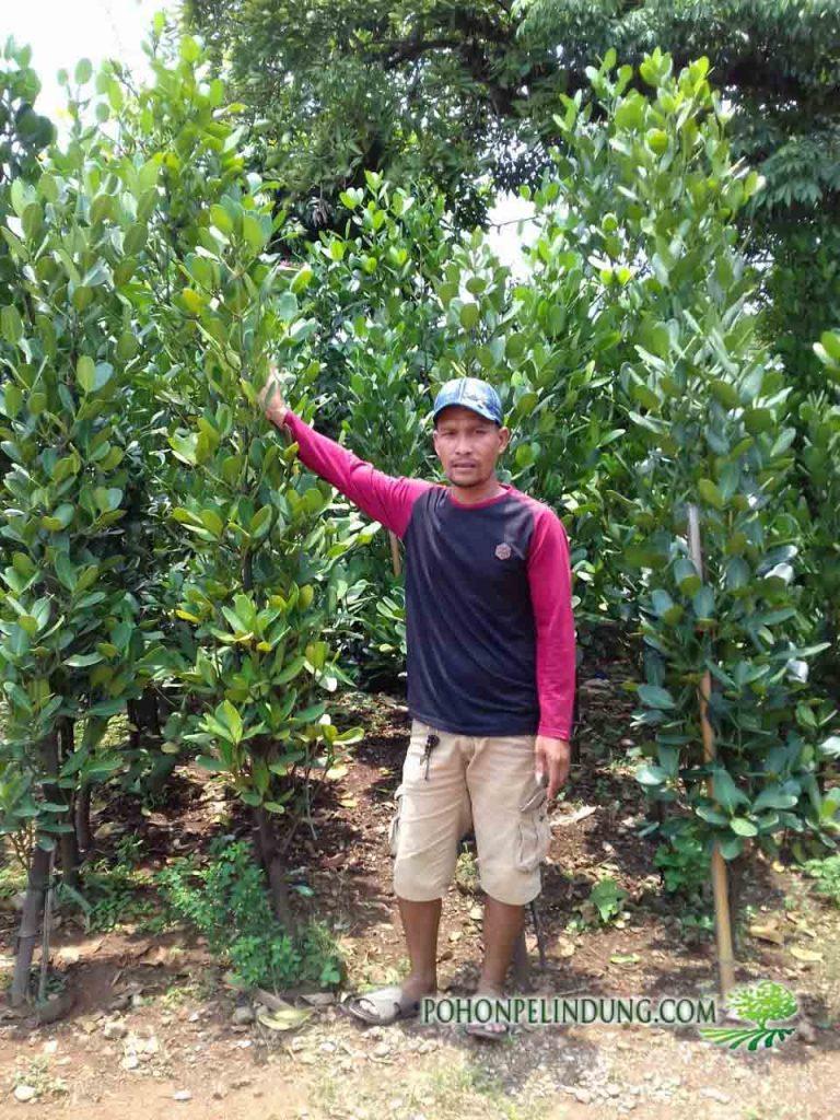 jual pohon garsenia