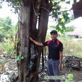 penjual pohon bodhi