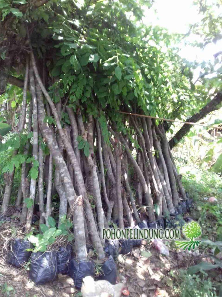 petani pohon angsana