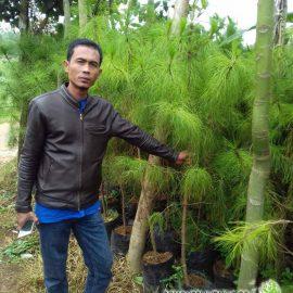 petani pohon cemara pinus