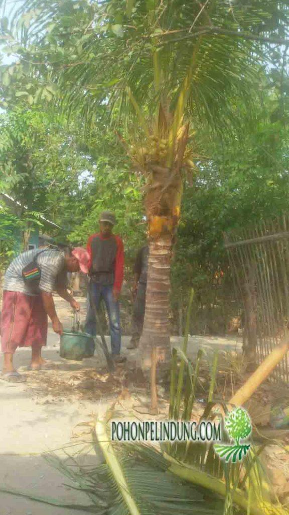 jual pohon kelapa kuning
