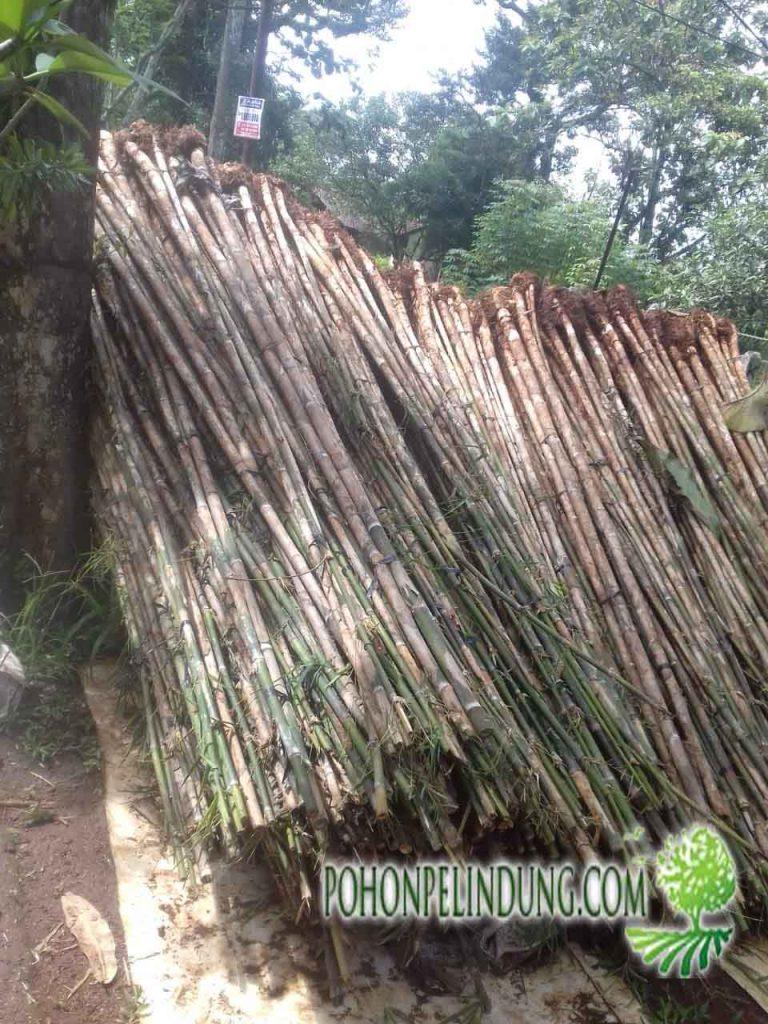 harga tanaman bambu jepang
