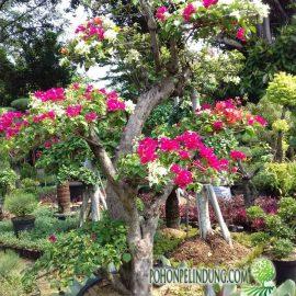 jual pohon bonsai bougenville