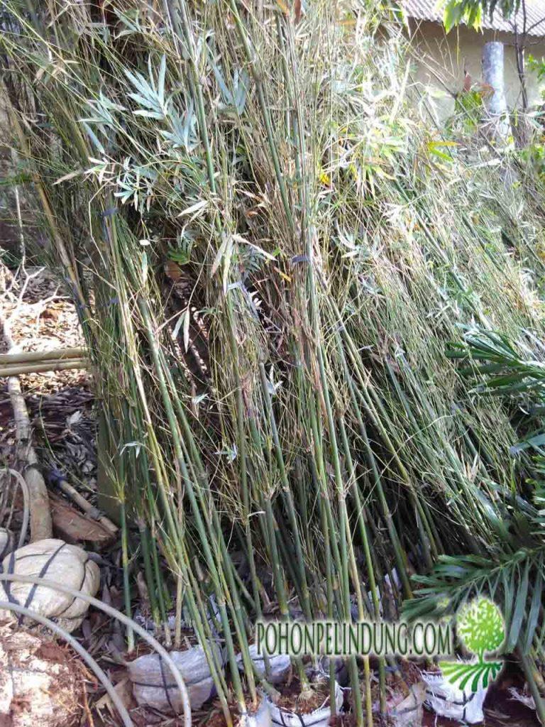 penjual pohon bambu jepang harga murah