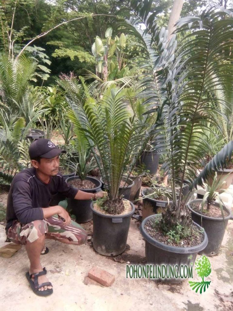 penjual pohon ense