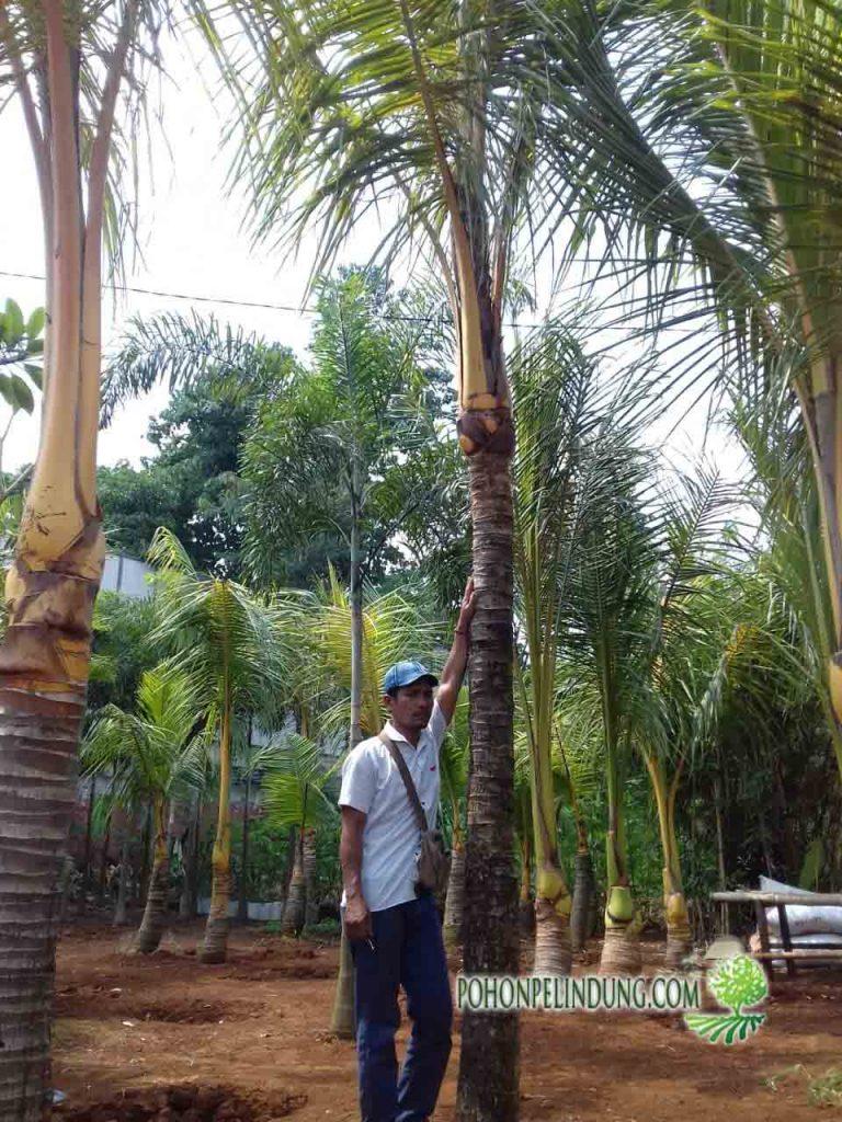 petani tanaman kelapa kuning