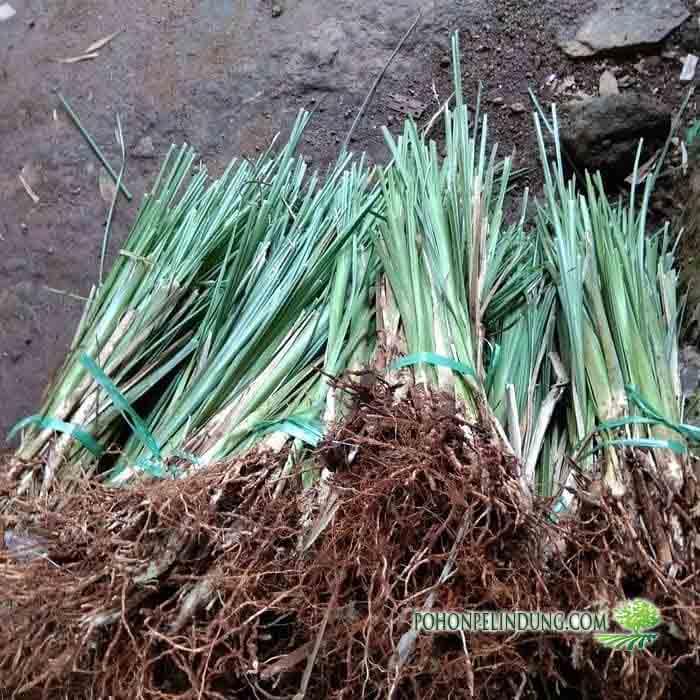 Petani Rumput Akar wangi (Vetiver)